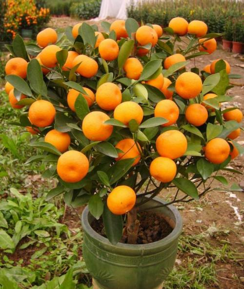 Картинки мандариновые деревья. Мандариновое дерево, уход в домашних условиях, фото