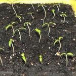 Особый способ подготовки семян.
