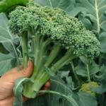 Как вырастить капусту брокколи.