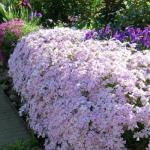"""Из каких растений получится достойная """"Оправа"""" для цветника."""
