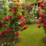 6 ошибок в выращивании роз на даче: