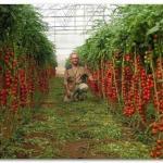 Семь правил большого урожая помидор.