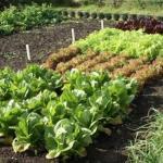 Что такое уплотненные посевы и какие овощи уживаются друг с другом?