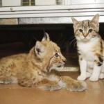 Кошка и рысь - удивительные подружки из ленинградского зоопарка.