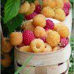 Выращивание малины.  Практические советы.