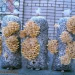 Технология выращивания грибов вешенки в домашних условиях.