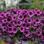 Формула обильного цветения петуний.