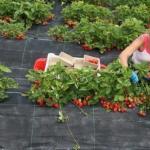 Cекреты выращивания земляники садовой.