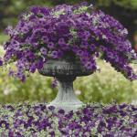 Несколько правил успешного выращивания петуний: