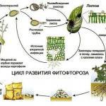 Борьба с фитофторой томатов: методы и средства.