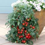 Ампельные помидоры.  Какие всё-таки неугомонные дачники!