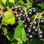 Как омолодить куст черной смородины и улучшить урожай.