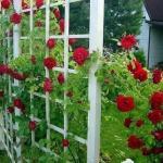 Супер средство для защиты роз от ржавчины, мучнистой росы и пятнистости!