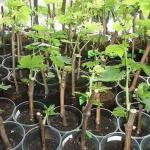 Отличный способ быстро и надежно вырастить черенки винограда.