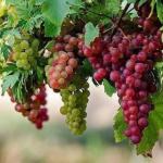 Только в том случае, если лоза хорошая, а винограда мало.