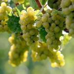 Выращивание винограда: советы новичкам.