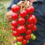 Секреты хорошего урожая помидоров.