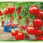 Как не дать томату жировать!