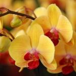 Как размножать орхидеи?