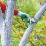 Осенняя побелка деревьев.