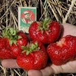 """Земляничные """"Капризы""""?   """"Везучие"""" садоводы уверяют, что земляника - самая урожайная плодово-ягодная культура."""