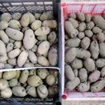 Пора картофель к посадке готовить.
