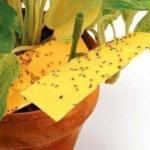 Как избавиться от цветочных мошек.