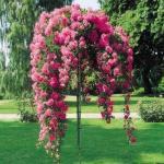Штамбовые розы.   Штамбовые розы получают при помощи окулировки на стебель морщинистой розы или шиповника.