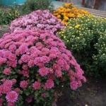 Как вырастить шикарные хризантемы?