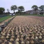 Не пробовали посадить лук китайским способом?