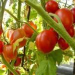 7 правил большого урожая помидоров.