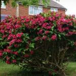 Вейгела (Weigela) - листопадный кустарник семейства жимолостных, способный эффектно украсить ваш сад.