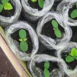 Огурцы к маю и огуречные секреты сбора семян.