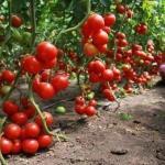 Кефир - защитник томатов.