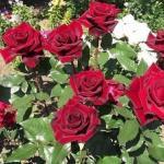 """Супер - средство """"Тройчатка"""" для проращивания роз."""
